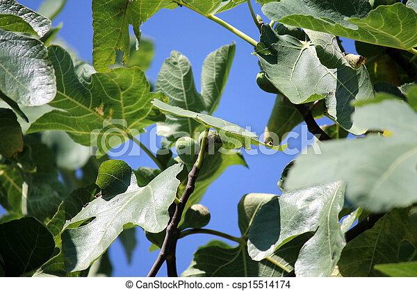 ripe figs on the tree - csp15514174