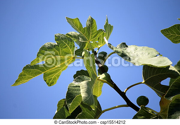 ripe figs on the tree - csp15514212