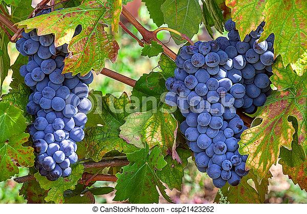 Ripe grapes of Piedmont, Italy. - csp21423262