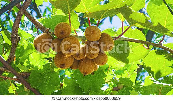 Ripe kiwi fruit on a branch - csp50008659