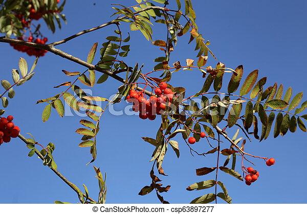 Ripe mountain ash on branches - csp63897277