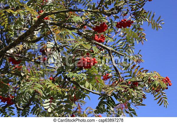 Ripe mountain ash on branches - csp63897278