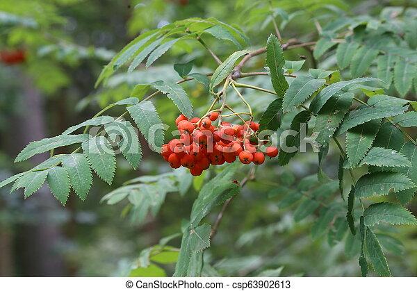 Ripe mountain ash on branches - csp63902613