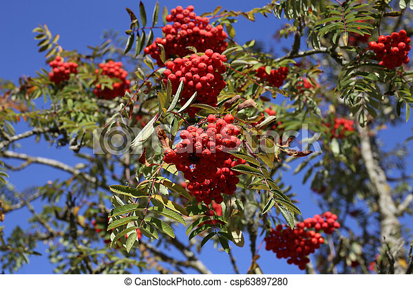 Ripe mountain ash on branches - csp63897280