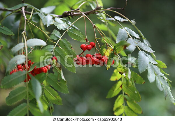 Ripe mountain ash on branches - csp63902640