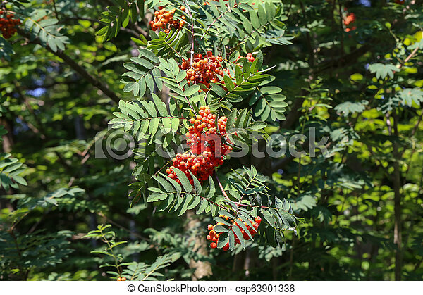 Ripe mountain ash on branches - csp63901336