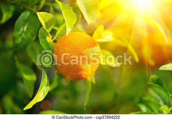 Ripe orange or tangerine hanging on a tree - csp37894222