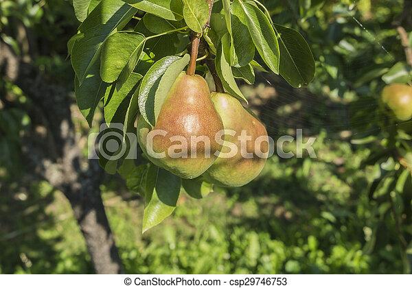 ripe pears on tree - csp29746753