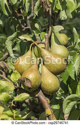 ripe pears on tree - csp29746741
