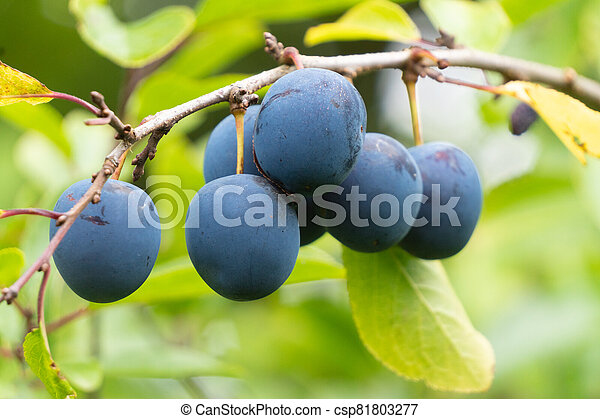 Ripe plums on a branch - csp81803277