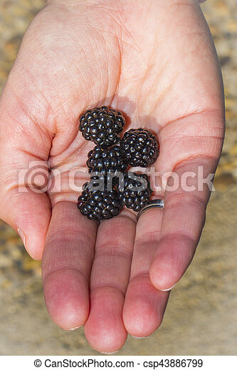 Ripe Raspberries - csp43886799