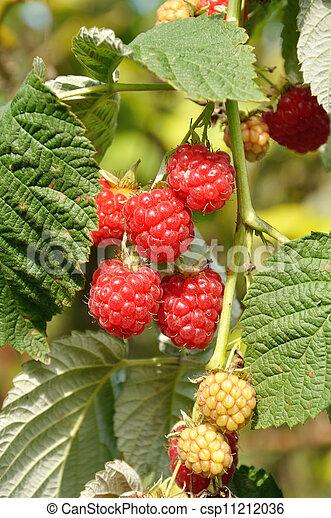 Ripe raspberries - csp11212036