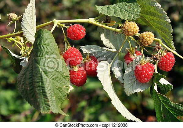 Ripe raspberries - csp11212038