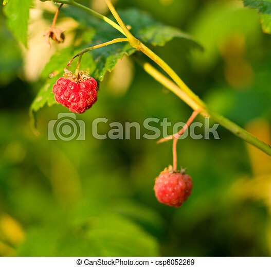 ripe raspberry - csp6052269