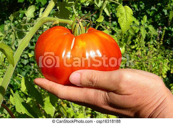 Ripe red tomato - csp16318188