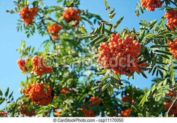Ripe rowan berries on a background of blue sky - csp11170050