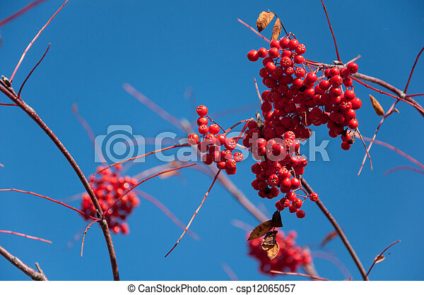 Ripe rowan berries on a background of blue sky - csp12065057