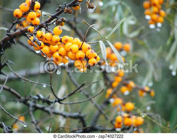 Ripe Sea Buckthorn Orange Berries With Drops Of Water After Rain