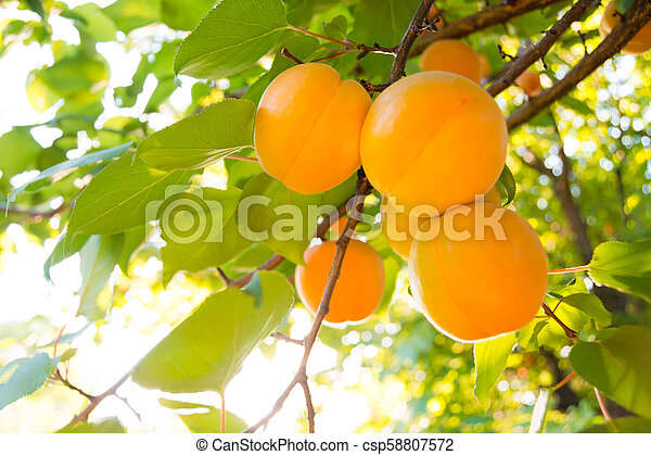 Ripe Sweet Apricot Fruits on Branch among Green Leaves at Warm Sunny Day - csp58807572