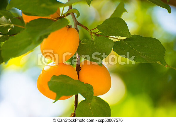 Ripe Sweet Apricot Fruits on Branch among Green Leaves at Warm Sunny Day - csp58807576