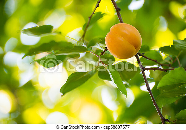Ripe Sweet Apricot Fruits on Branch among Green Leaves at Warm Sunny Day - csp58807577
