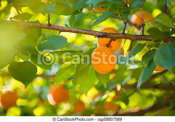 Ripe Sweet Apricot Fruits on Branch among Green Leaves at Warm Sunny Day - csp58807589