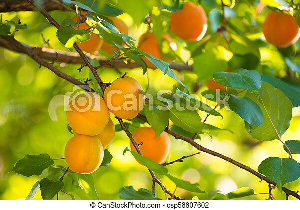 Ripe Sweet Apricot Fruits on Branch among Green Leaves at Warm Sunny Day - csp58807602