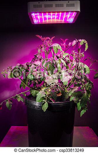 Ripe Tomato Plant Under Led Grow Light Stock Image Csp33813249