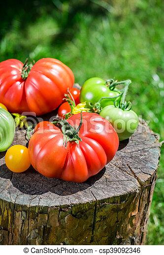 Ripe tomatoes in garden - csp39092346