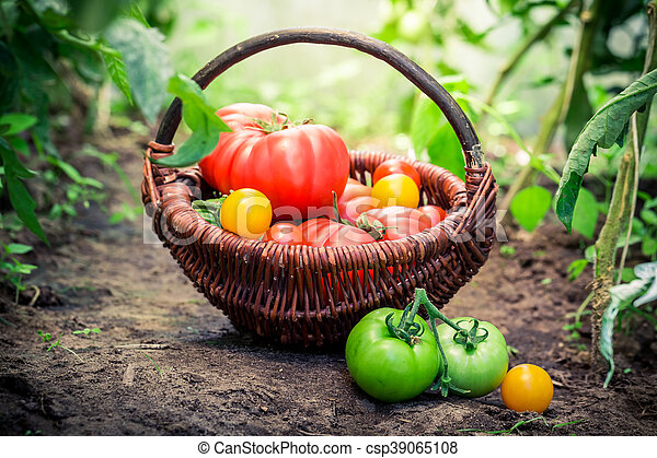 Ripe tomatoes in greenhouse - csp39065108