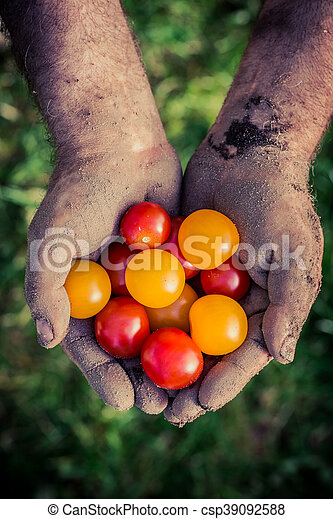 Ripe tomatoes in hands - csp39092588