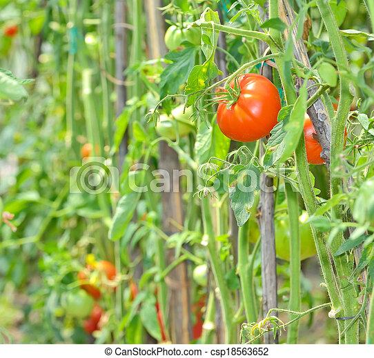 ripe tomatoes - csp18563652