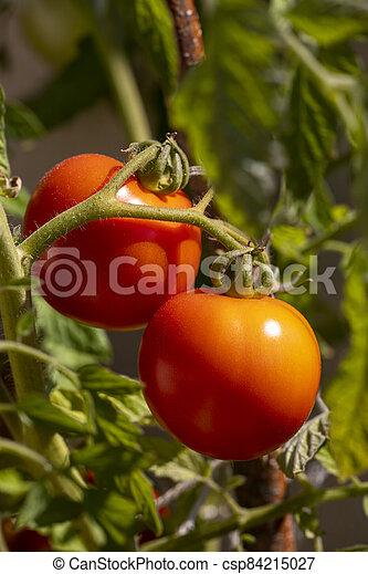 ripe tomatoes - csp84215027