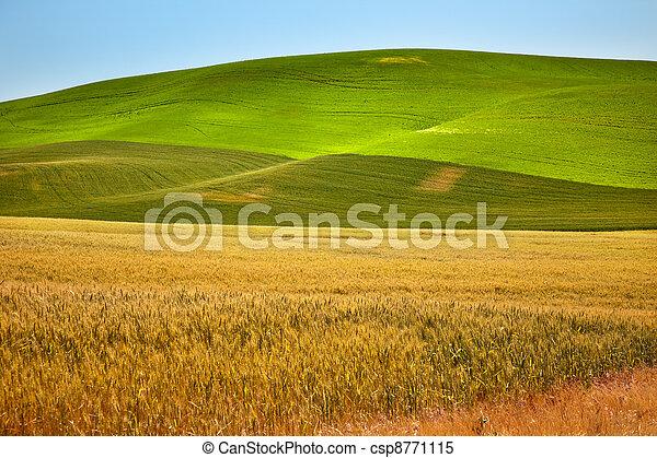 Ripe Yellow Green Wheat Fields Palouse Washington State - csp8771115