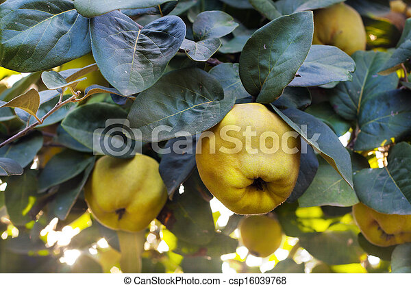 how to know when a quince is ripe