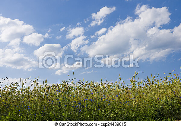 Ripening rye in the field of summertime - csp24439015