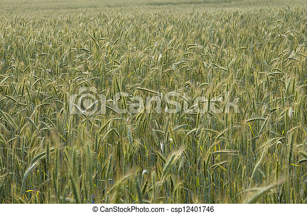 Ripening rye in the field of summertime - csp12401746