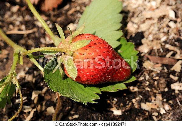 ripening strawberry garden bed backyard - csp41392471