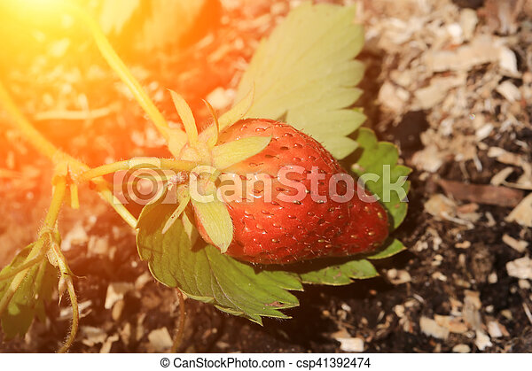 ripening strawberry garden bed backyard - csp41392474