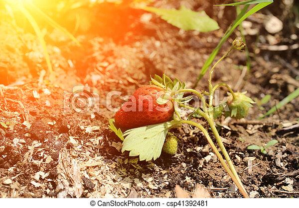 ripening strawberry garden bed backyard - csp41392481