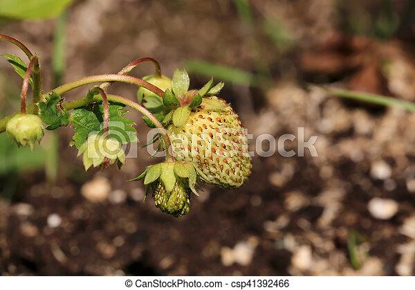 ripening strawberry garden bed backyard - csp41392466
