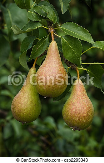 Riping pears on a tree - csp2293343