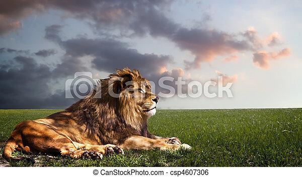 riposare, leone, potente, sunset. - csp4607306