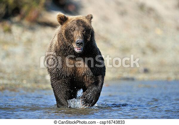 Pesca de osos pardos en el río. - csp16743833
