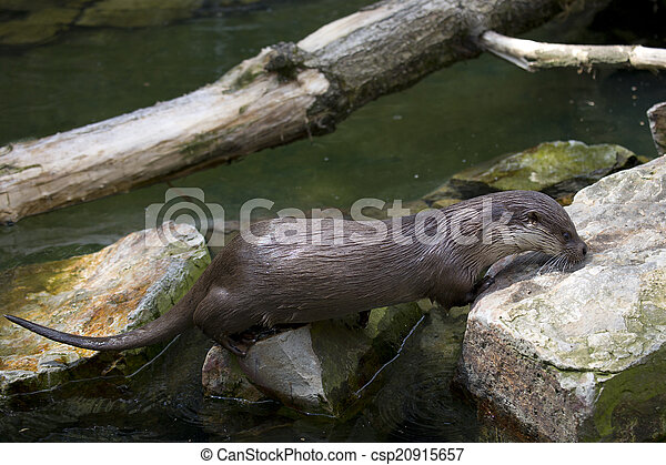 River Otter - csp20915657