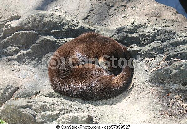River otter - csp57339527