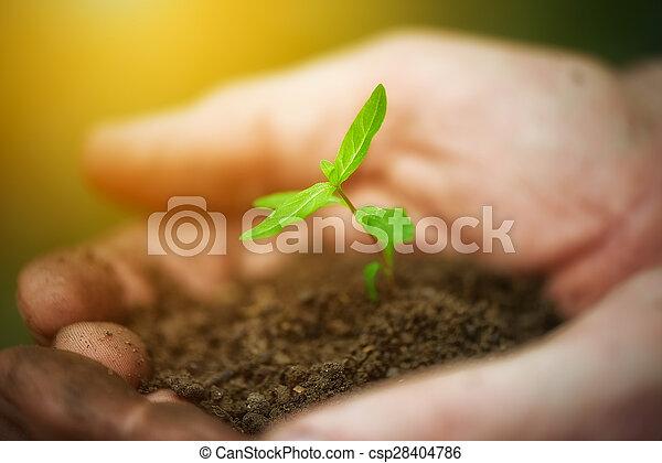 rośliny, pojęcie, stary, kiełek, młody, brudne ręki - csp28404786