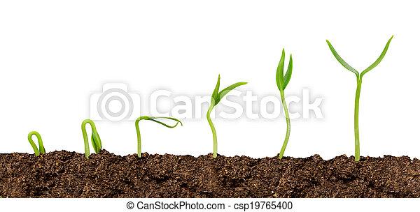 rośliny, rozwój, soil-plant, odizolowany, postęp - csp19765400