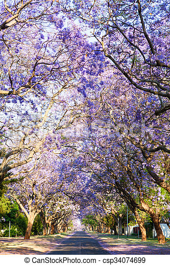 Road lined with beautiful purple jacaranda trees in bloom - csp34074699