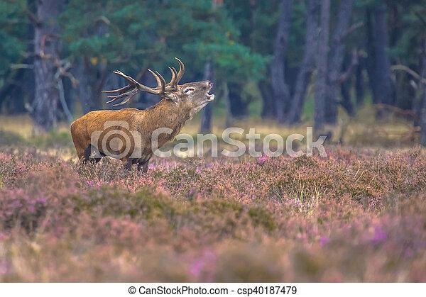 Roaring male Red deer in Heath - csp40187479